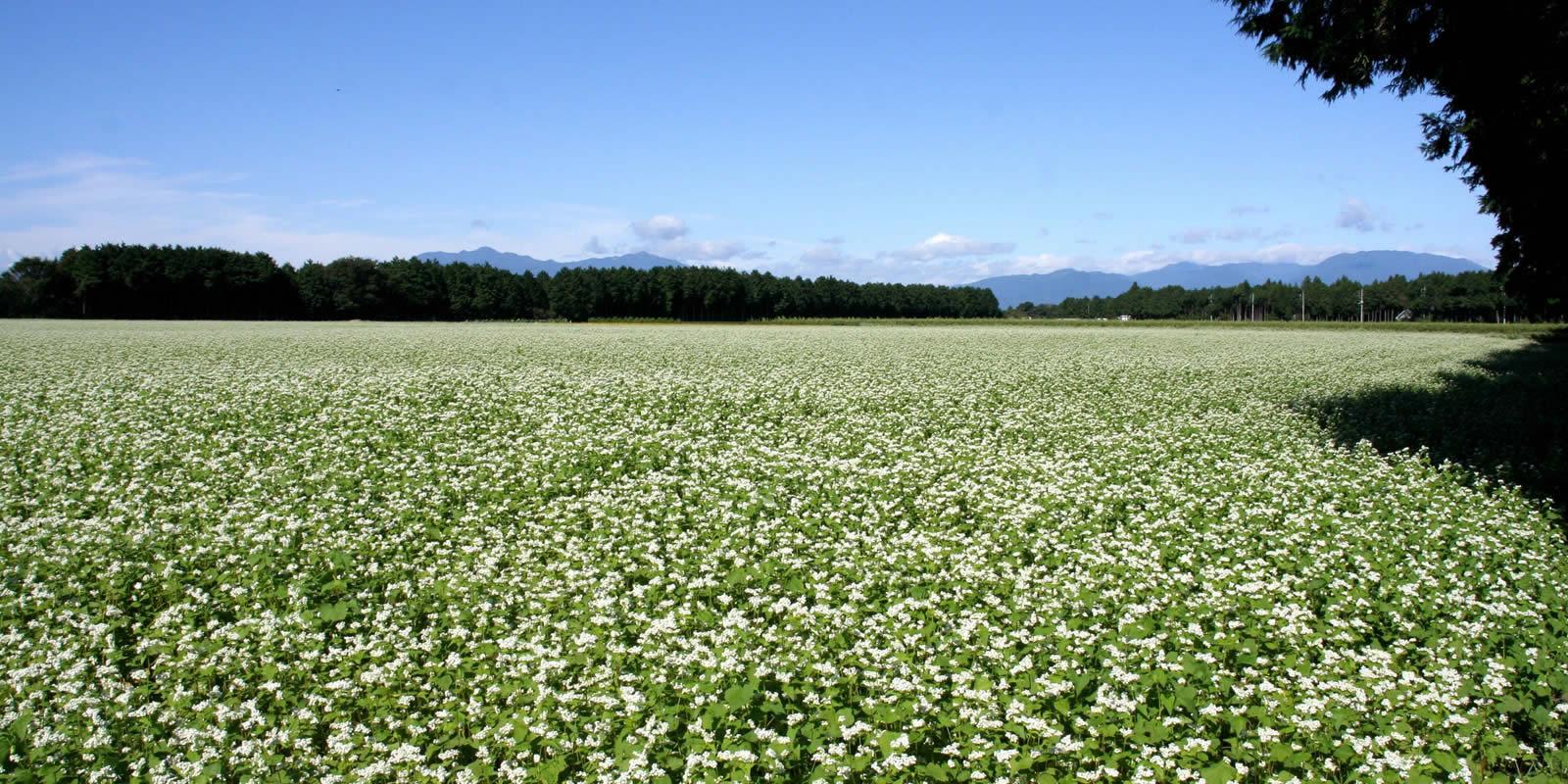岩村ファーム そば畑