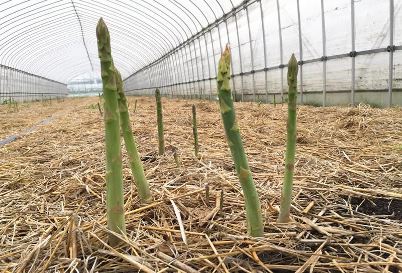岩村ファーム アスパラガスの収穫体験